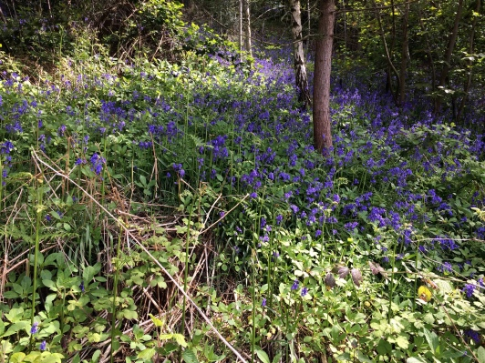 Abberley Hill - Bluebells
